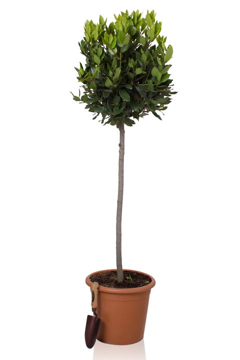 Large Bay Tree Half Standard 'Laurus nobilis' 18l Pot