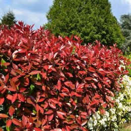 4ft Photinia 'Red Robin' Shrub | 10L Pot