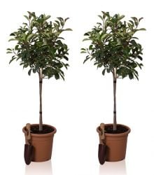 Photinia serrulata red robin Mini Standard Pair 9l Pot