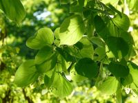 Standard Small Leaved Lime Tree 'Tilia cordata Greenspire' 30L Pot 10/12 Girth