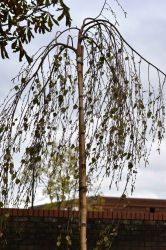 Standard Young's Weeping x White Birch 'Betula Alba Youngii (Pendula) 30l Pot 8/10 Girth