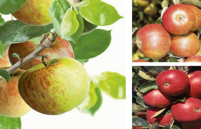 Britain's Favourite Apple Trees Collection by Frank P Matthews™ - 'Cox', 'Bramley' & 'Scrumptious™'