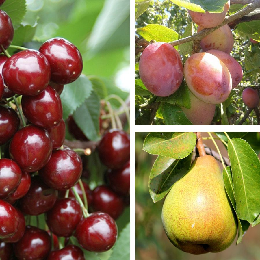 Mini Orchard Collection by Frank P Matthews ™ - 'Stella' Cherry, Plum 'Victoria' & Pear 'Conference'