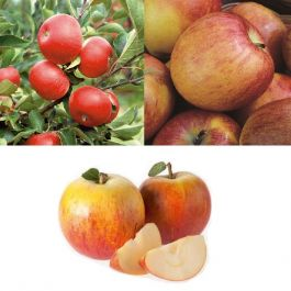 5ft 'Full Season Apple Tree Collection - 3 x 5ft 'Apple Trees - 'Discovery', Cox's Orange Pippin' & 'Braeburn Hillwell'
