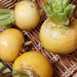Turnip 'Golden Ball' | 10 Plants | By Plant Theory