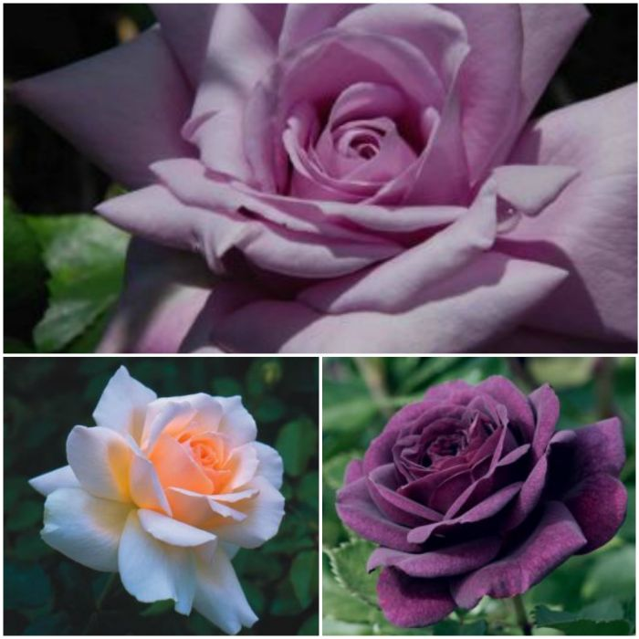 Unusual Rose Bush Collection - 'Ebb Tide', 'Twice in a Blue Moon' and 'Chandos Beauty'