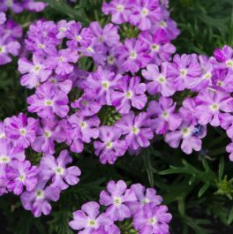 Verbena Enchantment 'Lavender' | Pack of 5 Plug Plants