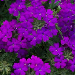 Verbena Enchantment 'Purple' | Pack of 5 Plug Plants