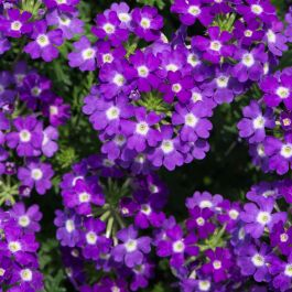 Verbena Enchantment 'Violet Eye' | Pack of 5 Plug Plants