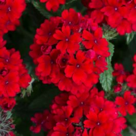 Verbena Showboat 'Dark Red' | Pack of 15 Plug Plants