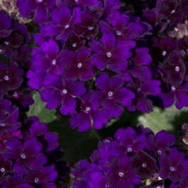 Verbena Showboat 'Midnight' | Pack of 5 Plug Plants