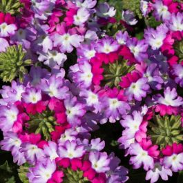Verbena Sparkle 'Purple Blues' | Pack of 5 Plug Plants