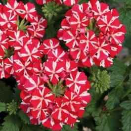 Verbena Voodoo 'Red Star' | Pack of 15 Plug Plants