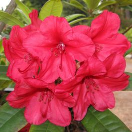 2ft Rhododendron 'Vulcan's flame' | 7.5L Pot