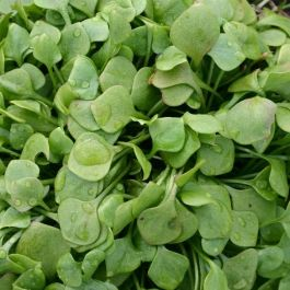 Winter Purslane | 10 Plants | By Plant Theory