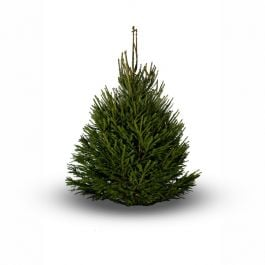 4ft (1.2m) Norway Spruce Premium Real Christmas Tree