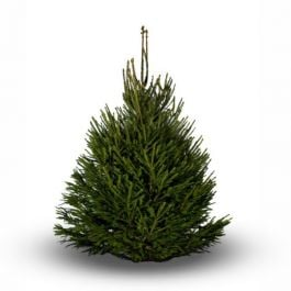 5ft Premium Real Christmas Tree | Norway Spruce