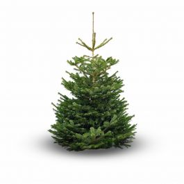 4ft (1.2m) Nordmann Fir Field Mix Real Christmas Tree