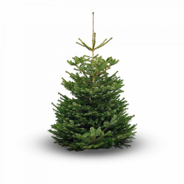 7ft Standard Real Christmas Tree | Nordmann Fir