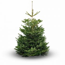 10ft Premium Real Christmas Tree | Nordmann Fir