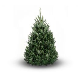 4ft (1.2m) Fraser Fir Premium Real Christmas Tree