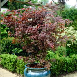 4ft Atropurpureum Acer Tree | 7.5L Pot | Acer Palmatum