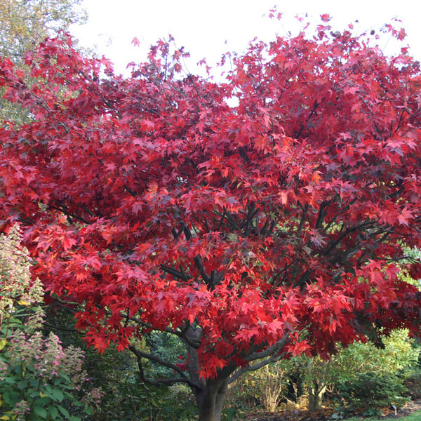 1ft Bloodgood Acer Tree | Bare Root| Acer Palmatum