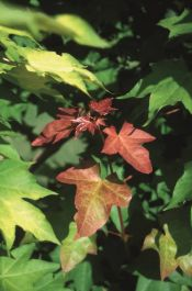 5ft Acer cap 'Rubrum' Tree | 12L Pot | By Frank P Matthews™
