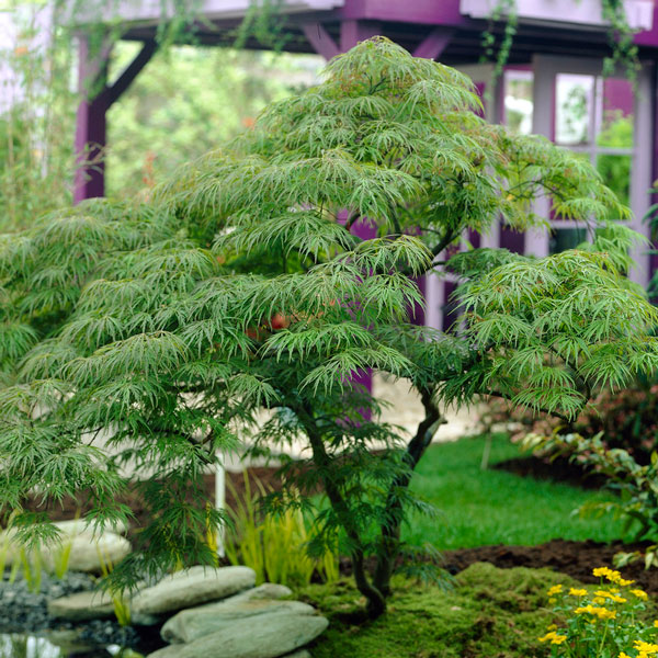 2ft Dissectum Acer Tree | 7.5L Pot | Acer Palmatum