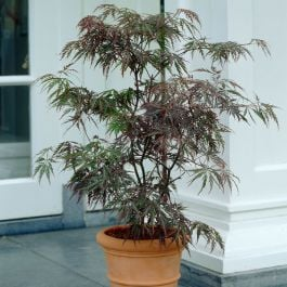 2ft Garnet Acer Tree | 2L Pot | Acer Palmatum