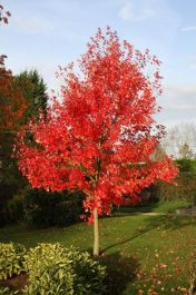 5ft 'Morgan' Maple Tree | 12L Pot | Acer x freemanii 'Morgan' | By Frank P Matthews™