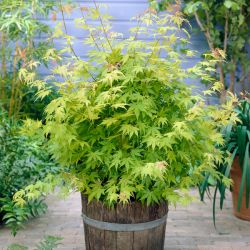 4ft Orange Dream Acer Tree | 7.5L Pot | Acer Palmatum