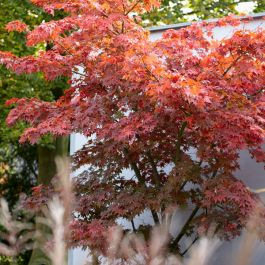 1ft Acer Tree | 3L Pot | Acer Palmatum