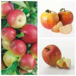 Full Season Apple Tree Collection