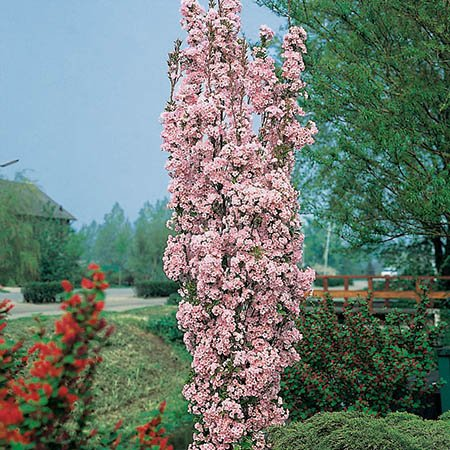 5ft Amanogawa Cherry Blossom Tree | 9L Pot