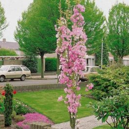 7ft 'Amanogawa' Cherry Blossom Tree | 18L Pot | Prunus 'Amanogawa'