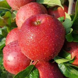 5ft 'Red Windsor' Dessert Apple Tree | M26 Semi Dwarfing Rootstock | Bare Root