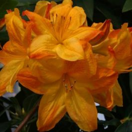 2ft Deciduous Azalea 'Arneson Gem' | 5L Pot