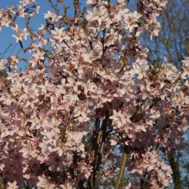 5ft 'Ascendens Rosea' Cherry Blossom Tree | Prunus pen 'Ascendens Rosea' | 12L Pot | By Frank P Matthews