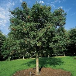 5ft Cut Leaf Rowan Tree | 9L Pot | Sorbus aucuparia 'Asplenifolia'