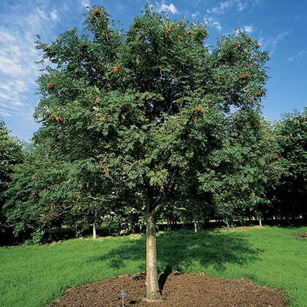 9ft Cut Leaf Rowan Tree  | Full Standard | 36L Pot | Sorbus aucuparia 'Asplenifolia'