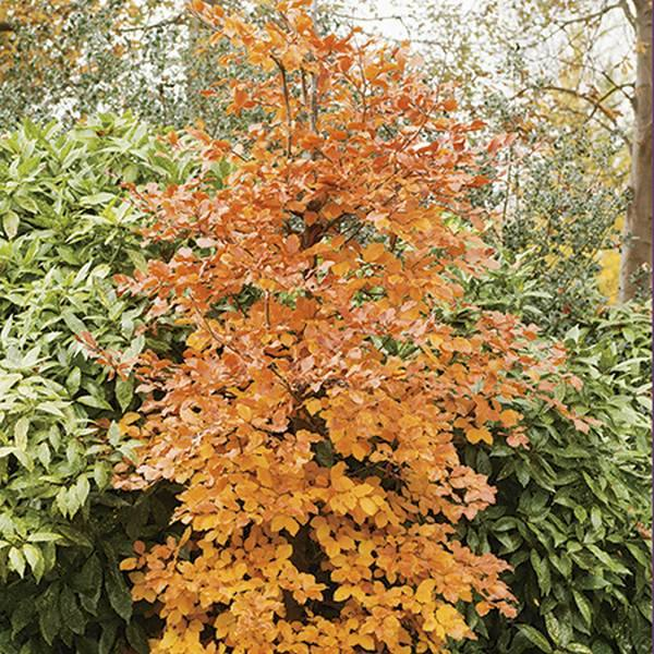 5ft Common Beech | 9L Pot | Fagus sylvatica