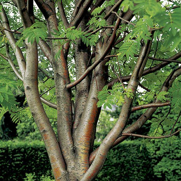 5ft Beissneri Rowan Tree | Bare Root | 'Sorbus aucuparia Beissneri'