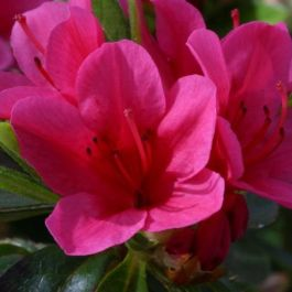 1ft Evergreen Azalea 'Benny Gerry' |3L Pot | Azelea japonica