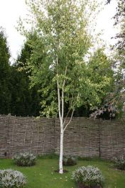 5ft 'Golden Fountain' Birch Tree | 12L Pot | Betula pendula 'Golden Fountain' | By Frank P Matthews™