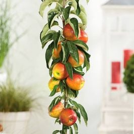5ft 'Blenheim Orange' Cordon Dual Purpose Apple Tree | M26 Semi Dwarfing Rootstock | 8L Pot