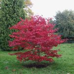 Japanese Acer 'Bloodgood' (Acer Palmatum) -Bare Root