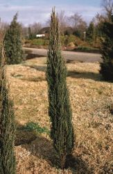 5ft 'Blue Arrow' Juniper Tree | 12L Pot | Juniperus scopulorum | By Frank P Matthews