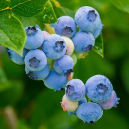 1ft 'Collins' Blueberry Bush | 3L Pot | By James McIntyre & Sons