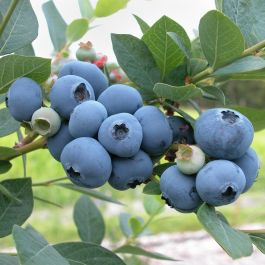 1ft 'Liberty' Blueberry Bush | 3L Pot | By James McIntyre & Sons